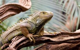 Картинка tree, iguana, reptile