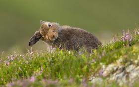 Картинка лето, Mountain Hare, природа