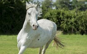 Обои морда, конь, лошадь, бег, грива