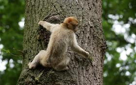 Обои природа, дерево, обезьяна, ствол