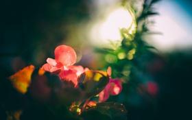 Обои цветок, растение, лепестки, боке