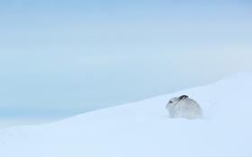 Обои зима, природа, заяц