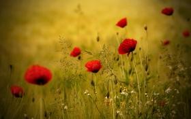 Картинка поле, цветы, маки, луг