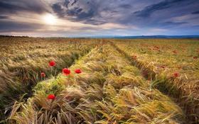 Обои маки, поле, закат