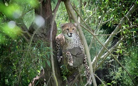 Обои молодой, дикая кошка, гепард, морда, заросли, хищник