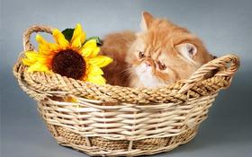 Обои цветок, корзина, киса, Kisa, flower, basket