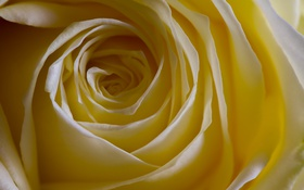 Обои роза, цветок, макро
