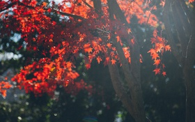 Обои red, branches, trees, nature, leaves, fall, autumn