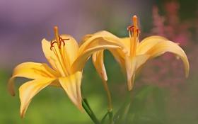 Обои цветы, Yellow Lilies, природа