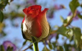 Картинка небо, макро, роза, лепестки, бутон