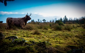 Обои Scotland, небо, поле, бык, природа, шотландия, трава