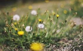 Картинка лето, трава, одуванчик