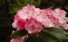 Обои капли, розовая, лепестки, цветение, цветки, азалия