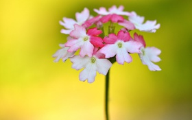 Обои соцветие, экзотика, лепестки, растение, природа, цветок