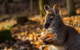 Обои природа, кенгуру, осень