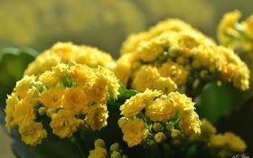 Обои цветы, размытость, жёлтые, каланхоэ