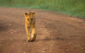 Обои львица, прогулка, хищник, дорога