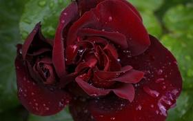 Картинка капли, роза, лепестки, макро