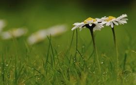 Картинка трава, капли, макро, ромашки