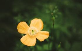 Картинка маки, лепестки, цветы