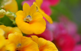 Картинка цветы, желтые, Немезия, Nemesia