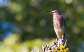 Картинка природа, птица, пень, клюв