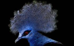Обои птица, перья, клюв, венценосный голубь