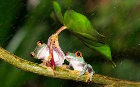 Обои лист, дождь, лапки, зонт, зеленые, дружба, лягушки