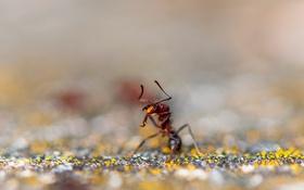 Картинка красный, муравей, насекомое