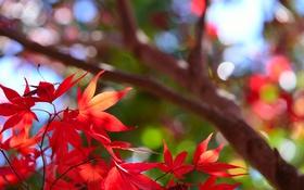 Обои осень, листья, макро, дерево, багрянец