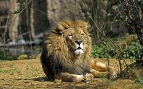 Картинка кошка, отдых, лев