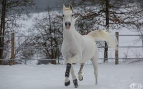 Обои конь, лошадь, бег, грация, (с) OliverSeitz