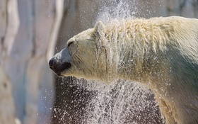 Обои брызги, мокрый, профиль, белый медведь, полярный, ©Tambako The Jaguar