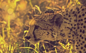 Обои трава, блики, гепард, охота, южноафриканский
