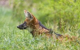 Обои трава, волк, профиль, ©Tambako The Jaguar, гривистый