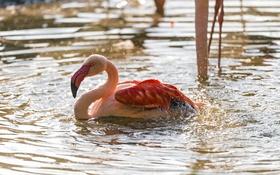 Обои брызги, птица, купание, фламинго, водоём, ©Tambako The Jaguar