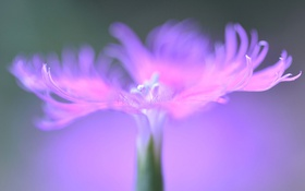 Обои цветок, природа, лепестки