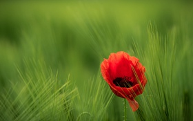 Картинка трава, макро, мак, лепестки, луг
