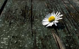 Обои цветок, макро, дерево, доски, ромашка