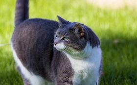 Обои кот, взгляд, кошак, котяра