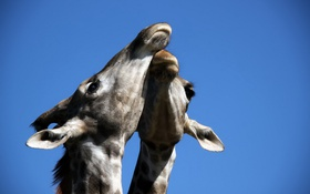 Обои небо, природа, жирафы