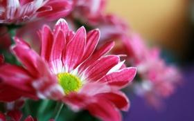 Обои цветы, яркие, букет, розовые, хризантемы