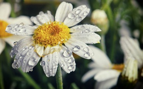 Картинка макро, лепестки, природа, ромашка, цветок, капли