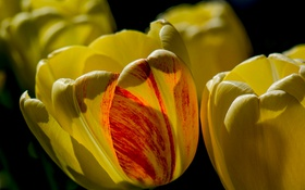 Картинка макро, природа, лепестки, тюльпаны