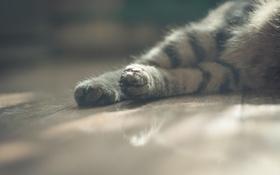Обои кот, лапки, лапы, шерсть