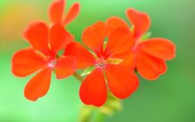 Обои соцветие, лепестки, природа, макро
