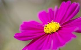 Обои цветок, лепестки, космея