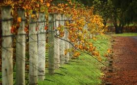 Обои листья, сельская местность, трава, виноградник
