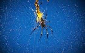 Обои природа, паутина, паук, насекомое, паучок