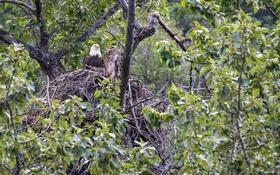 Обои гнездо, белоголовый орлан, хищник, на дереве
